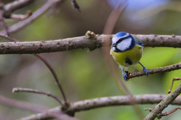 toile - mésange bleue