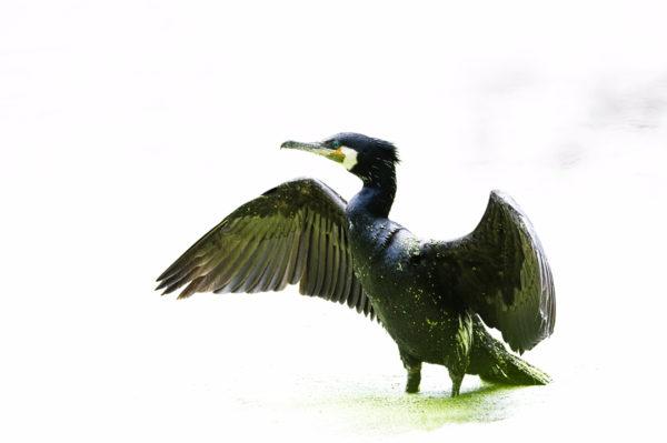 impression sur toile - grand cormoran