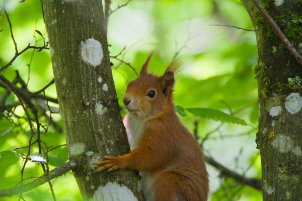 impression sur toile - Écureuil portrait