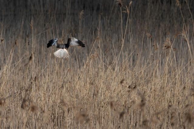 Busard des roseaux mâle - François Vulliet