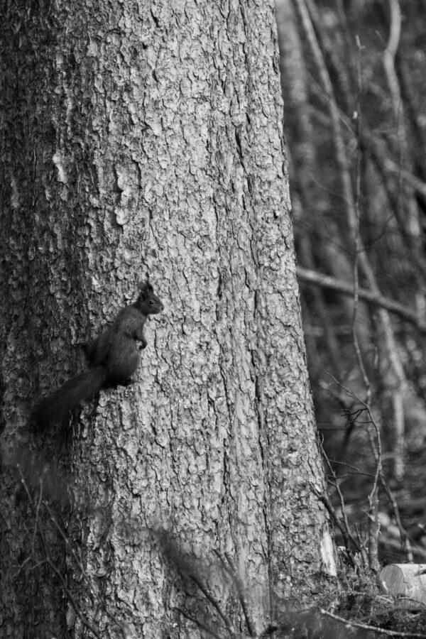 impression sur toile - écureuil